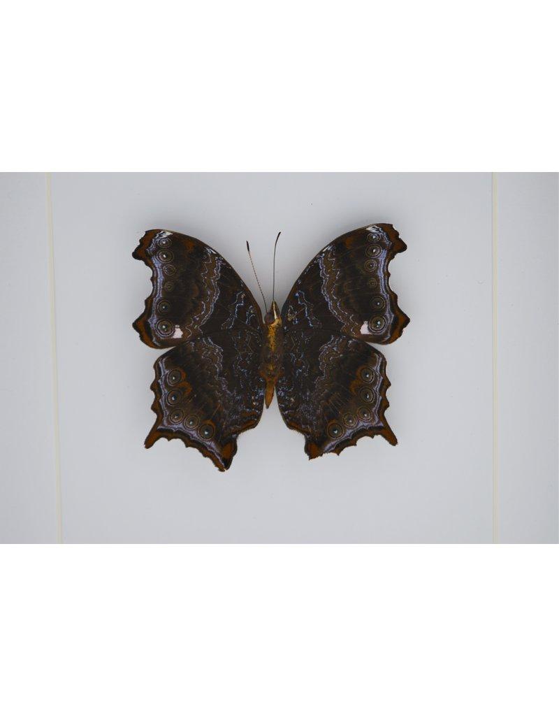 Nature Deco Rhinopalpa Polynice underside in luxury 3D frame 17 x 17cm