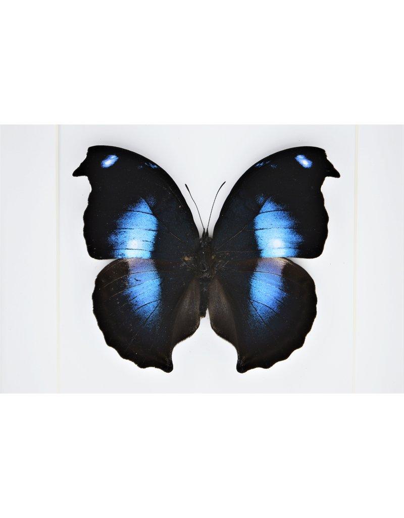 Nature Deco Napeocles Jucunda in luxury 3D frame 17 x 17cm