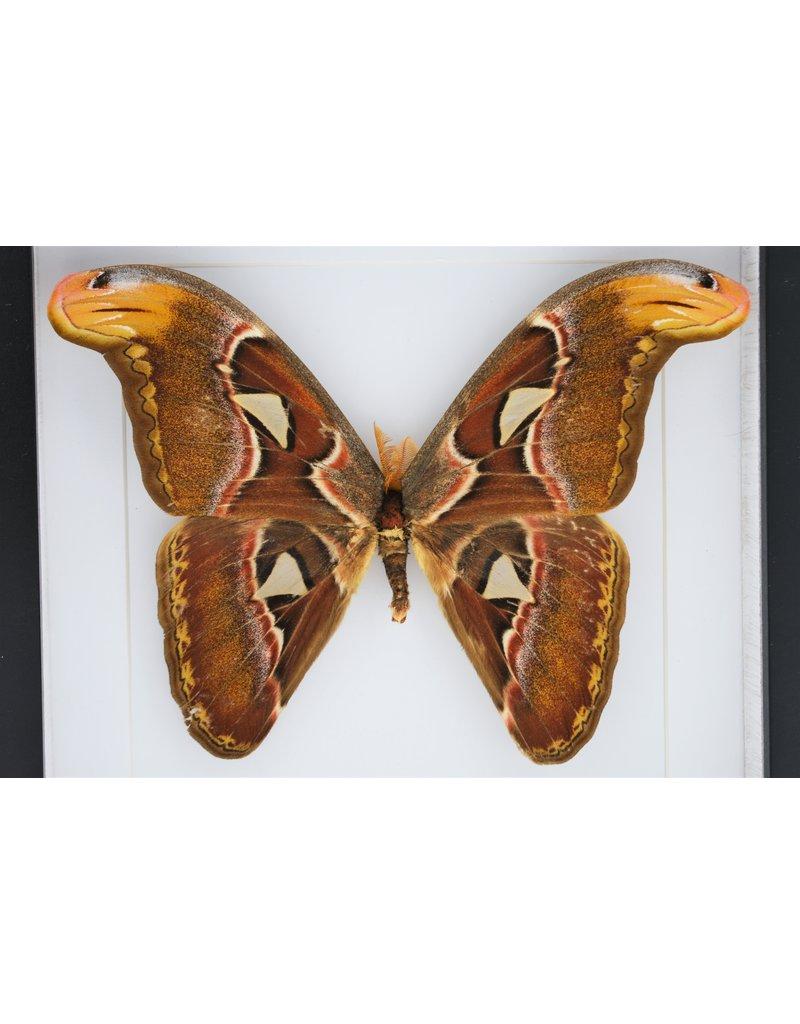 Nature Deco Attacus Atlas in luxe 3D lijst 22 x 22cm