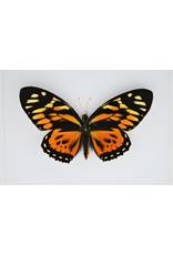 Nature Deco Papilio Zagreus in luxe 3D lijst 22 x 22cm