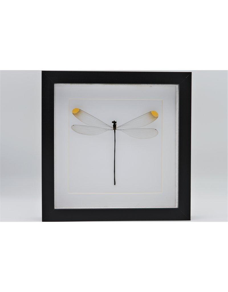 Nature Deco Microstigma Rotundatum in luxury 3D frame 22 x 22cm