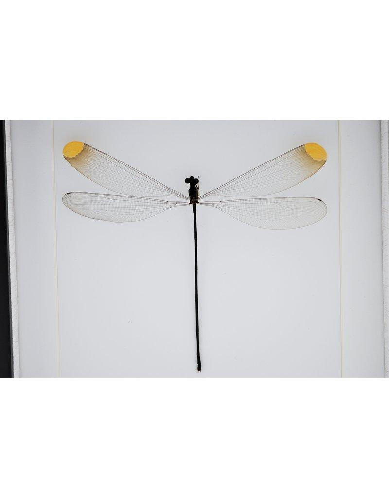 Nature Deco Microstigma Rotundatum in luxe 3D lijst 22 x 22cm