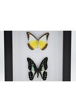 Nature Deco Appias Lyncida en Graphium Doson in luxe 3D lijst 20,3 x 15,3cm