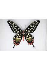 Nature Deco Papilio Antenor in luxe 3D lijst 22 x 22cm