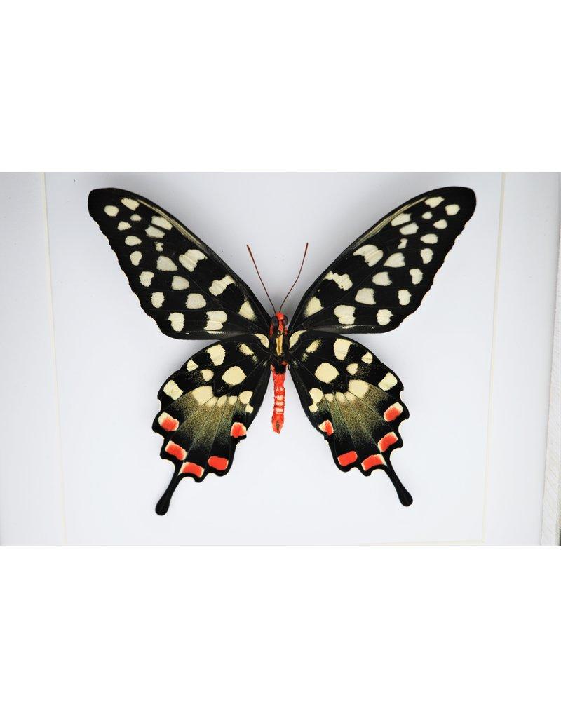 Nature Deco Papilio Antenor in luxury 3D frame 22 x 22cm