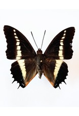 . Unmounted Charaxes Brutus