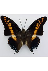 . Unmounted Charaxes Castor