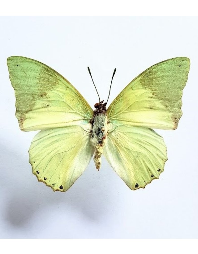 . Unmounted Charaxes Eupale