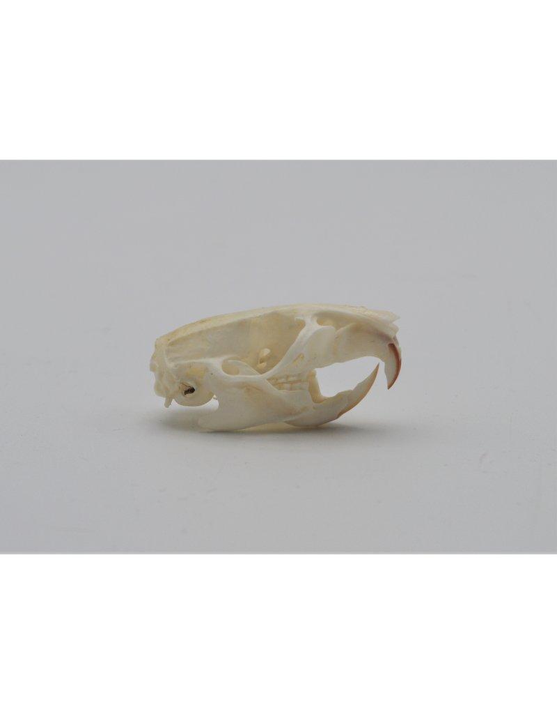 . Ratten schedel