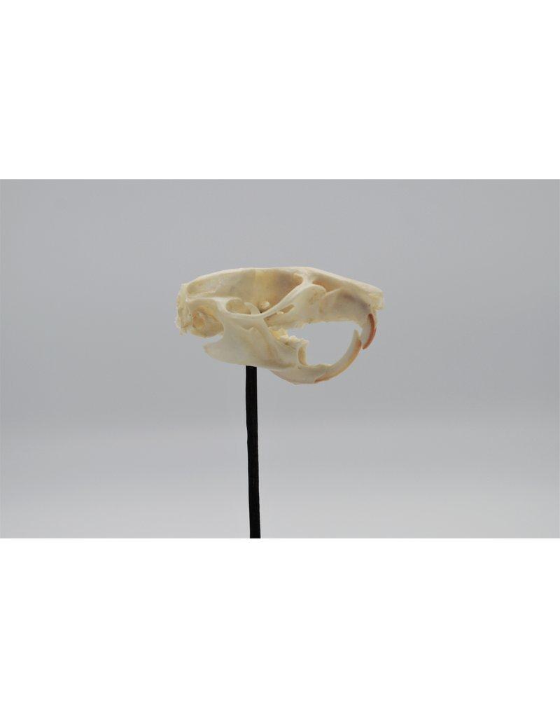 Nature Deco Rat skull in a glass dome