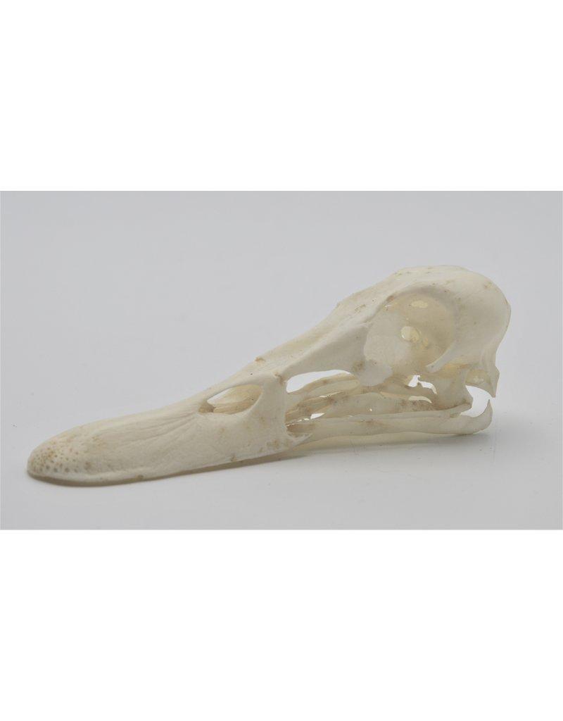 . Duck skull