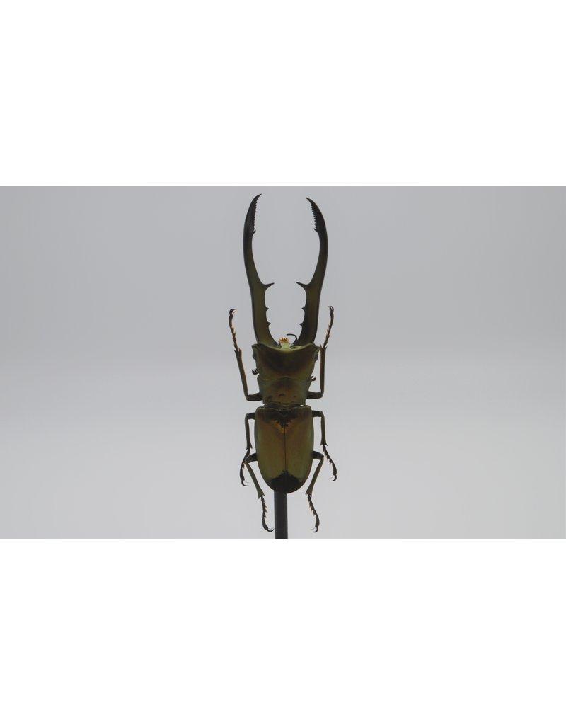 Nature Deco Cyclommatus Metallifer finae in glass dome