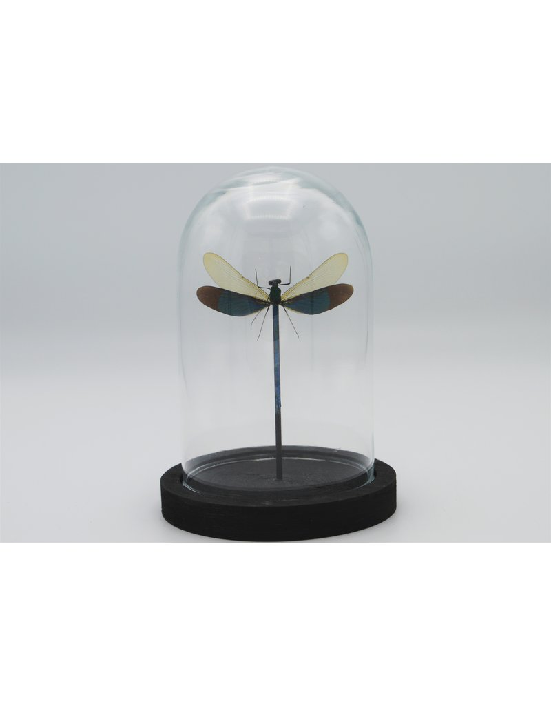 Nature Deco Neurobasis Chinensis  in glass dome