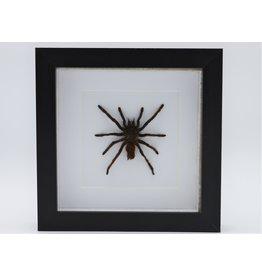 Nature Deco Eurypelma Spinicrus in luxury 3D frame