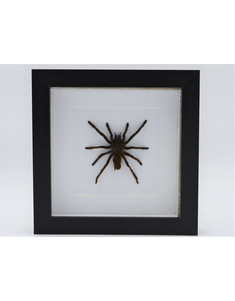 Nature Deco  Eurypelma Spinicrus in luxury 3D frame 17 x 17cm