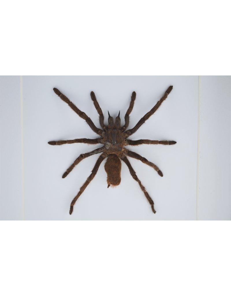 Nature Deco  Eurypelma Spinicrus in luxe 3D lijst 17 x 17cm