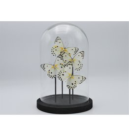Nature Deco Belenois Calypso in glass dome