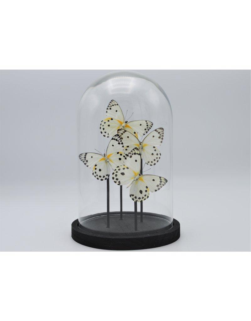 Nature Deco  Belenois Calypso in glass dome 21 x 14cm