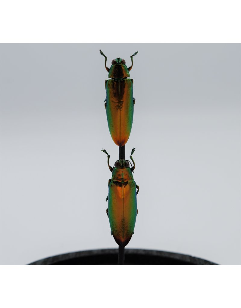Nature Deco Jewel beetles in glass dome 14 x 10cm