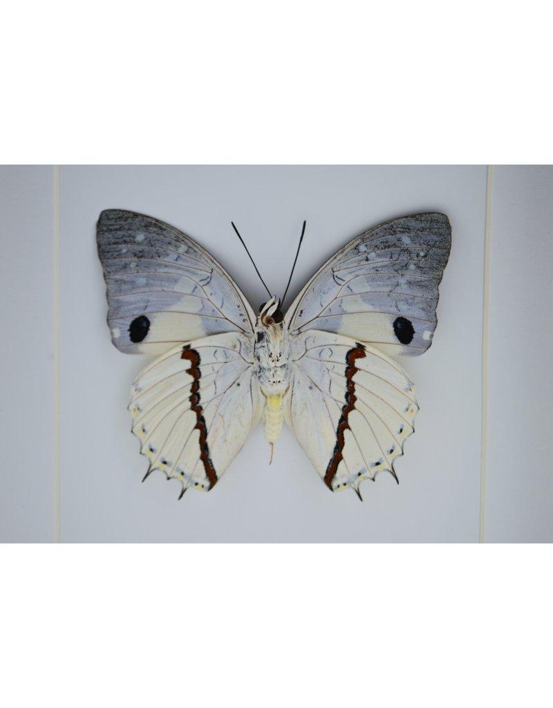 Nature Deco Charaxes Hadrianus in luxe 3D lijst 17 x 17cm