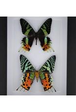 Nature Deco Urania Ripheus dubbel in luxe 3D lijst 20,3 x 15,3cm
