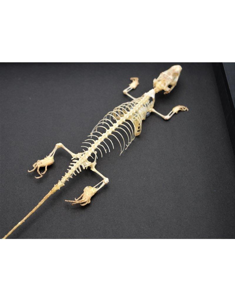 Nature Deco Skink skelet in luxe 3D lijst 22 x 22cm