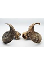 . Ouessant sheep horns set dark