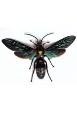 . (Un)mounted Megascolia Procer (wasp)