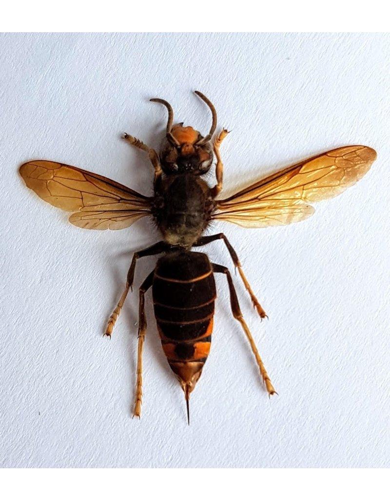 . (Un)mounted Vespa (wasp)