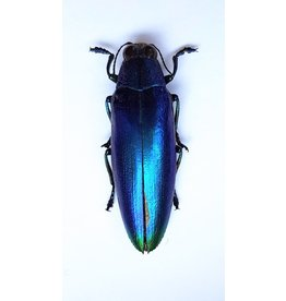 . (Un)mounted Chrysochroa Fulminans Fulminans (Jewel beetle)