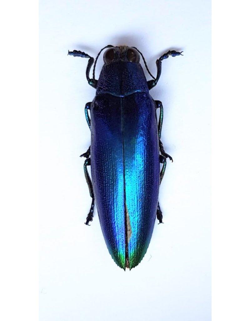 . (Un)mounted Chrysochroa Fulminans Fulminans ( blue jewel beetle)