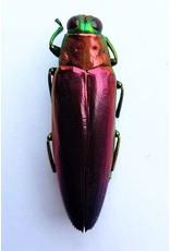. Unmounted Chrysochroa Fulminans Nishiyamai (jewel beetle)