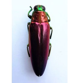 . Unmounted Chrysochroa Fulminans Nishiyamai (jewel beetle)