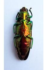 . Ongeprepareerde Chrysochroa Fulminans Nishiyamai (prachtkever)