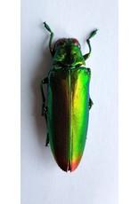 . (Un)mounted Chrysochroa Fulminans Fulminans (Jewel beetle)