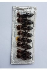. Umounted Camponotus Gigas (ant)