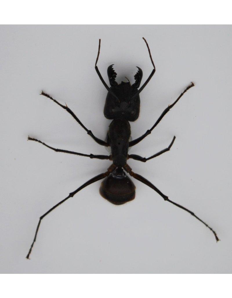 . Ongeprepareerde Camponotus Gigas (mier)