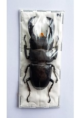 . (Un)mounted Dorcus Titanus Typhon
