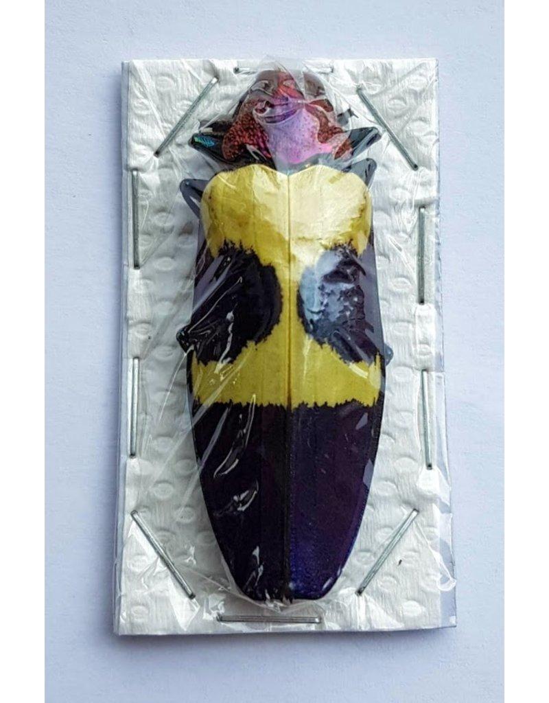 . Unmounted Chrysochroa Buqueti Rugicollis