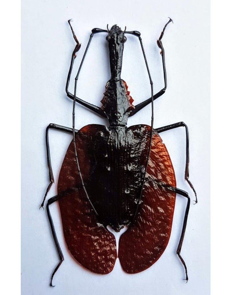 . (Un)mounted Mormolyce Phyllodes