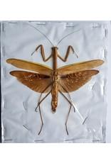 . (On)geprepareerde Mantidae sp. bruin