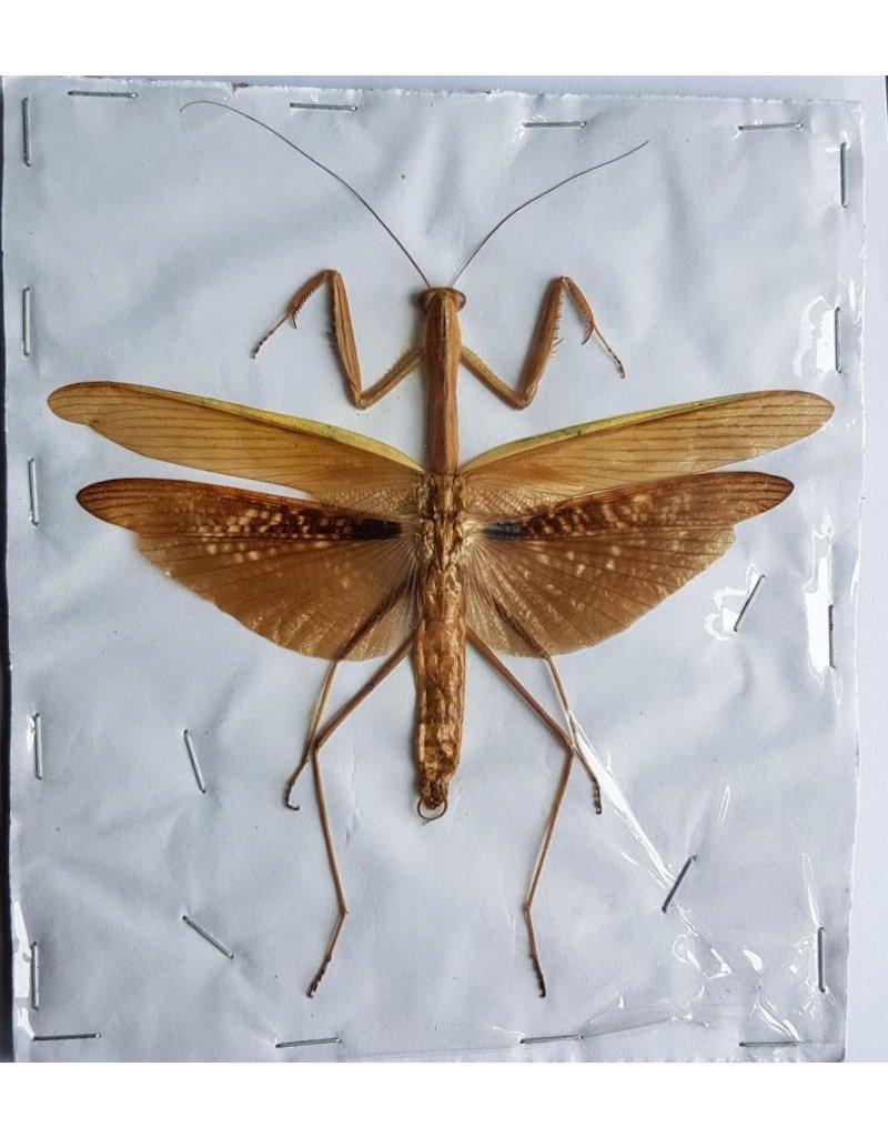 . (Un)mounted Mantidae sp. brown
