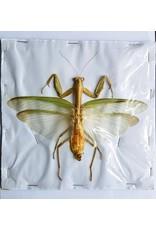 . (On)geprepareerde Mantidae sp. groen