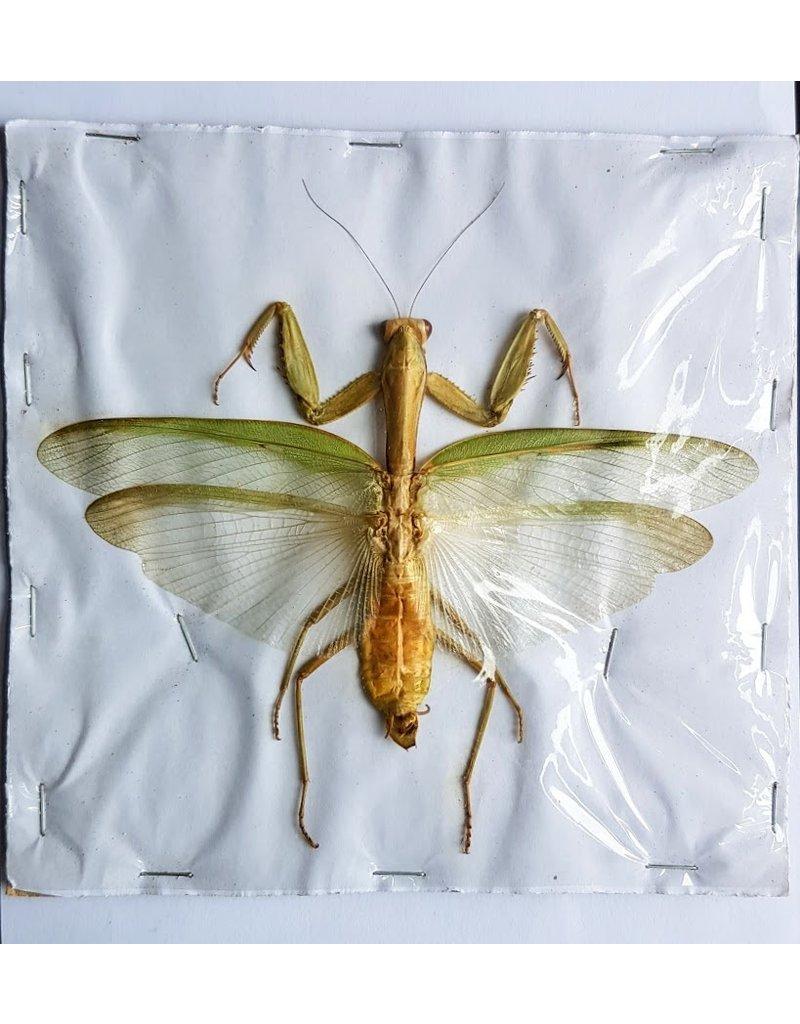 . (Un)mounted Mantidae sp. green