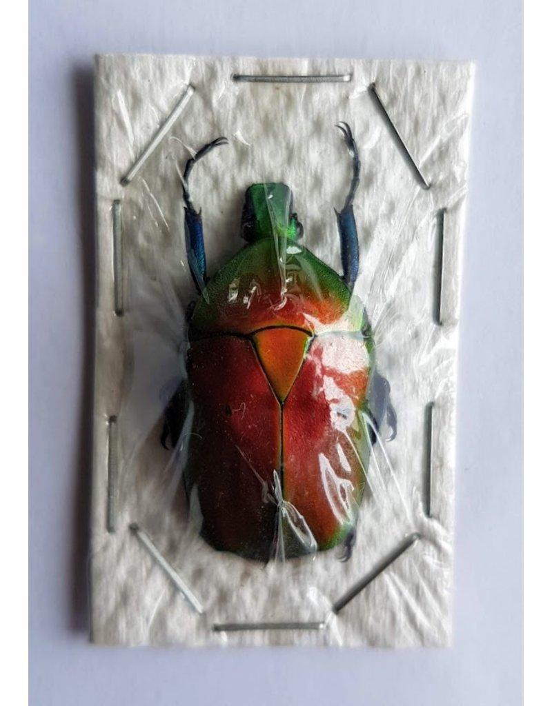 . (Un)mounted Rhomborrhina Flammea red