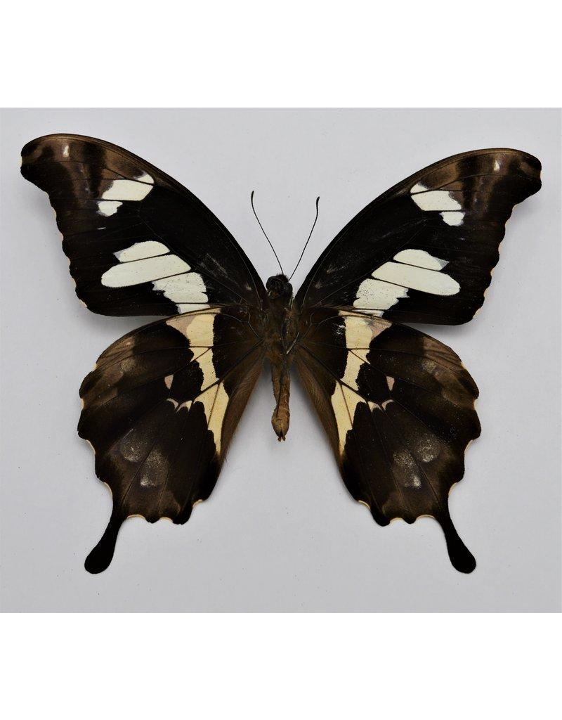 . Ongeprepareerde Papilio Hesperus