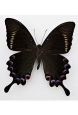 . Unmounted Papilio Paris