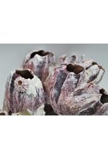 . barnacles