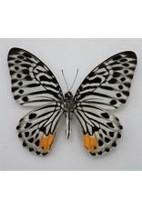 . Unmounted Graphium Delessertii