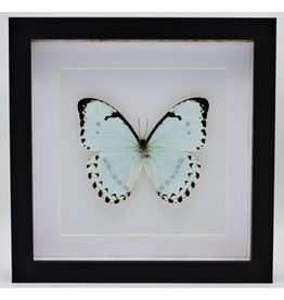 Nature Deco Morpho Catenarius in luxury 3D frame